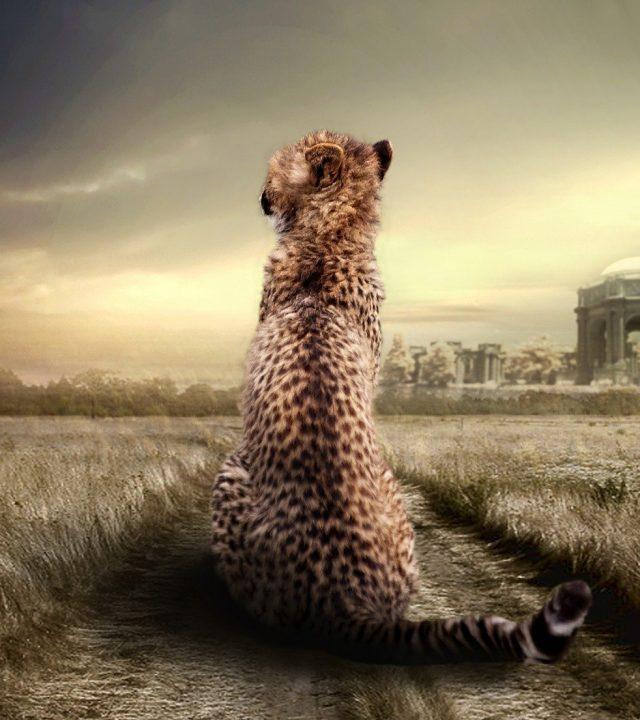 cheetah, animal, animal portrait